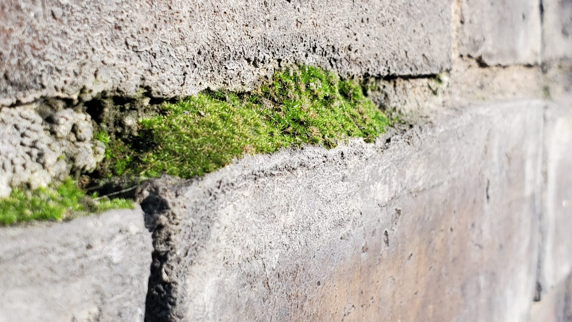 Stage 2 - Cyanobacteria, fungi, and then mosses grow on top of mortar joints.   In this picture you can see a thin layer of moss has started to grow on top of the exposed mortar joint. This only happens once the mortar joint has deteriorated significantly to the point that there is an inordinately higher ratio of residual sand than lime mortar binder.